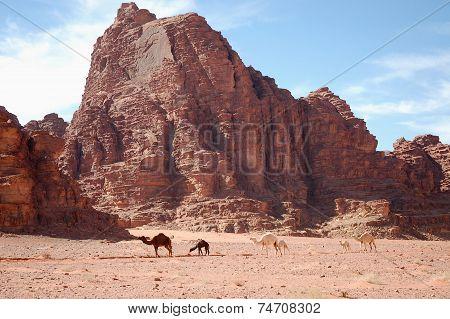 Camels In Wadi Rum Desert, Jordan.