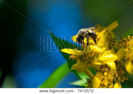 Bumblebee on a yellow flower.