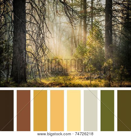 Early morning sunlight streams the the trees of Mariposa Grove, Yosemite, USA. In a colour palette with complimentary colour swatches.