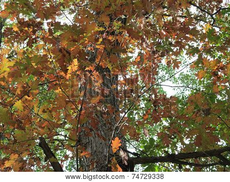 Oak Tree leaves changing in early fall