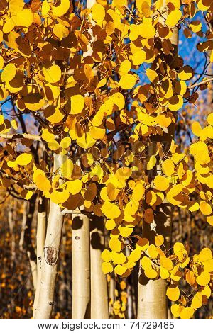 Aspen Trees In Peak Autumn Color