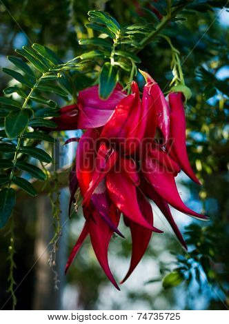 Clianthus Puniceus Flower
