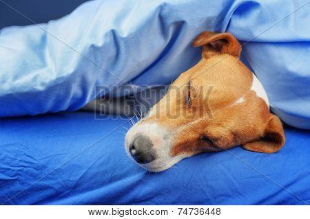 jack russel terrier on blue sheet