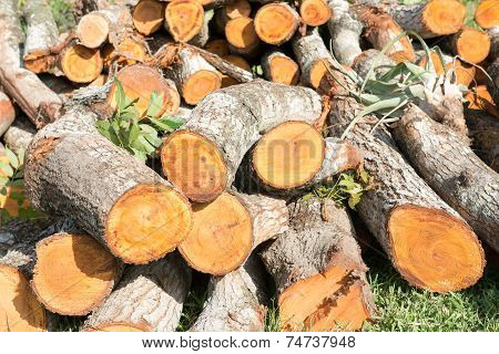 Stack Of Cedar Timbers, Felling Of Trees