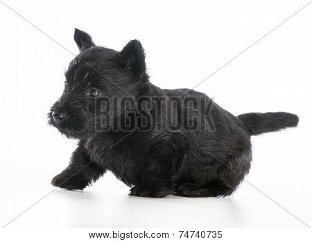 scottish terrier puppy  on white background - 6 weeks old
