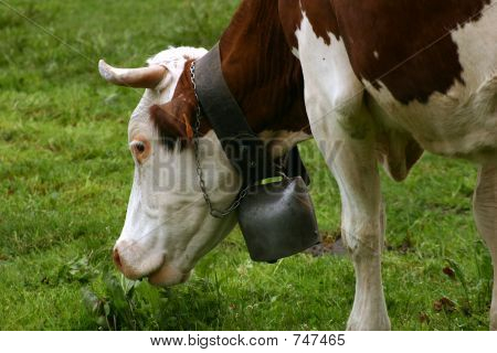 Grazing cow's head with a bell