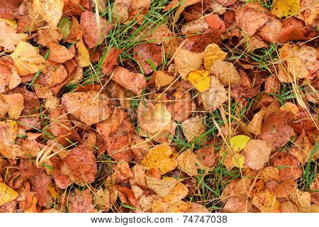 Wet autumn leaves after rain on ground as background