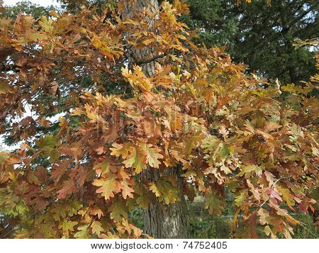 White Oak Leaves In Fall starting to change show beautiful color