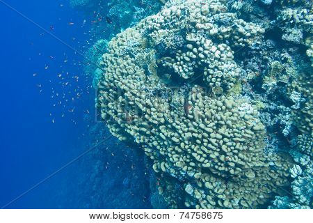 coral reef with porites corals and exotic fishes anthias on the bottom of tropical sea