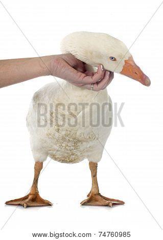 Stroking Goose
