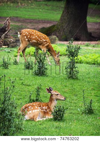 Two Fallow Deers Are Resting And Grazing
