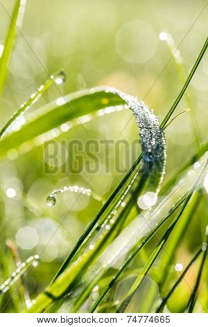 Raindrops On A Blade Of Fresh Green Grass