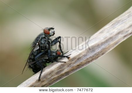 two fly,mating