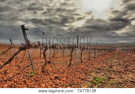 Vineyard In Guadiana River Lands