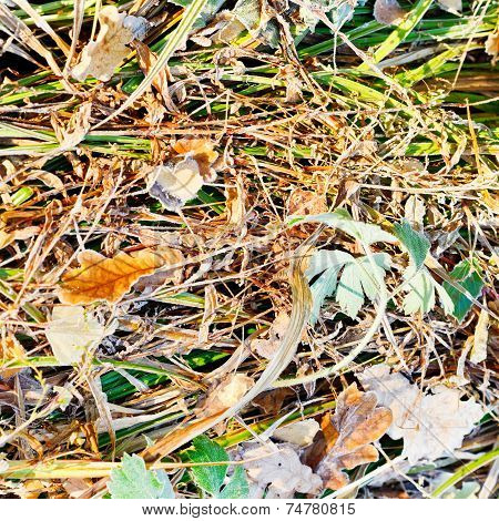 First Frost On Dried Grass In Autumn