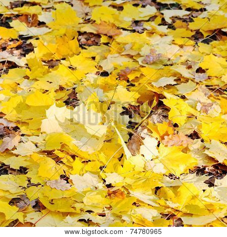 Yellow Maple Leaf Litter In Autumn