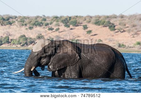 Elephant Crossing The River