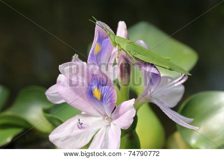 Water Hyacinth flowers and Acrida