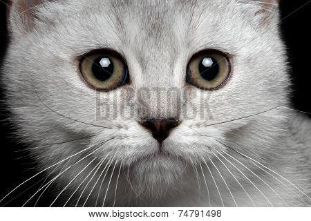 close-up scottish straight kitty