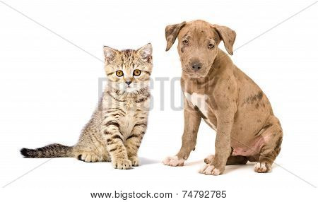 Pitbull puppy and kitten Scottish Straight