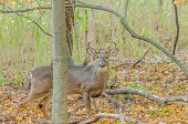 picture of buck  - Whitetail Deer Buck standing in a woods - JPG