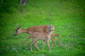 stock photo of deer family  - Two Roe deers in a garden of green grass - JPG