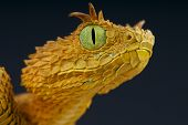 picture of tree snake  - The eyelash bush viper is a rare - JPG