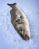 pic of bass fish  - Freshly Bass Fish in ice - JPG