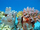 picture of fire coral  - coral reef with hard corals at the bottom of tropical sea on blue water background
