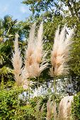 picture of pampas grass  - cortaderia selloana plant  - JPG