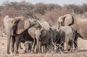 image of sub-saharan  - A family of elephants are walking together under the supervision of the matriarch - JPG