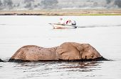 stock photo of sub-saharan  - An Elephant is crossing the Chobe river while a boat approaches - JPG