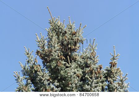 Evergreen Tree With Pine Cones On A Sunny Day