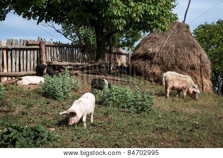 Pigs in the yard in Romanian Banat