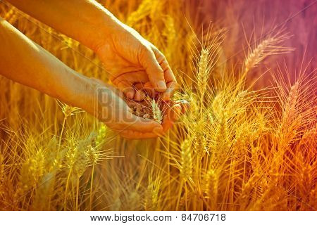Wheat in hands