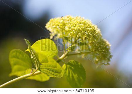 Smooth Hydrangea (hydrangea Arborescens)
