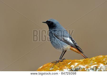 black redstart in natural habitat (phoenicurus ochruros)