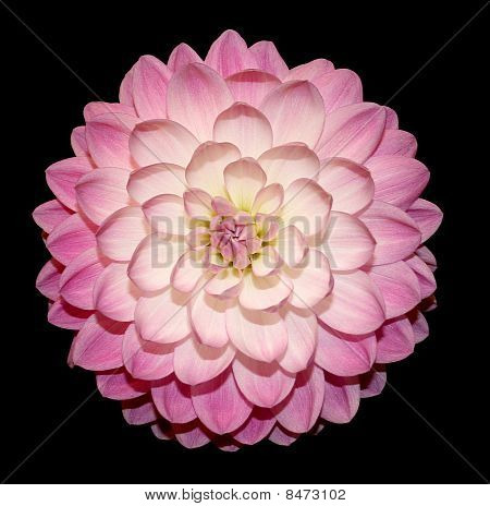 Dahlia pink & white black background