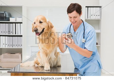 Vet using nail clipper on a dog in medical office