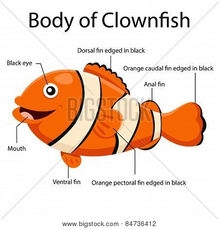 Illustrator body of clown fish