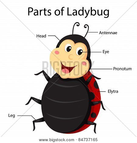 Illustrator parts of ladybug