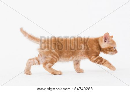 Side view of cat walking over white background