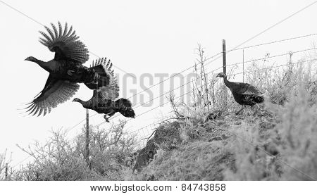 Pheasant Fly Attempting Escape Large Game Brid Winter Landscape