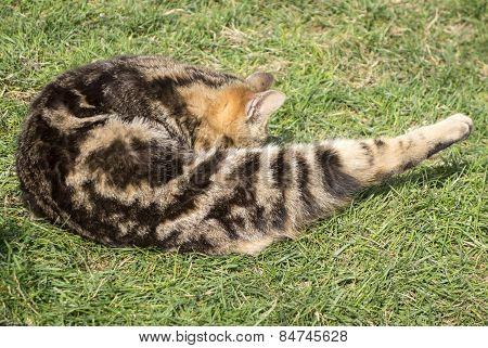 Cat Washing Itself