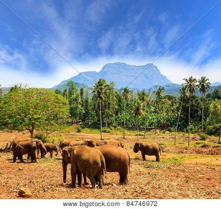 Elephants in park Pinawella. SriLanka