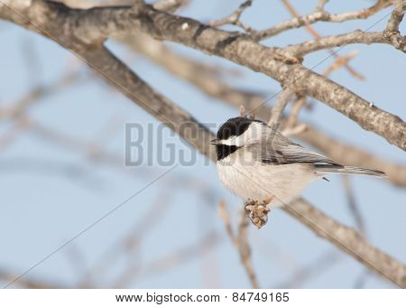 Tiny Carolina Chickadee taking a nap in an Oak tree in winter sun