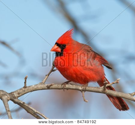 Beautiful bright red male Northern Cardinal perched in an Oak tree in winter