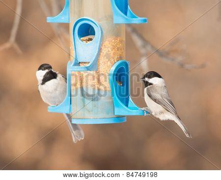 Carolina Chickadees at bird feeder in winter