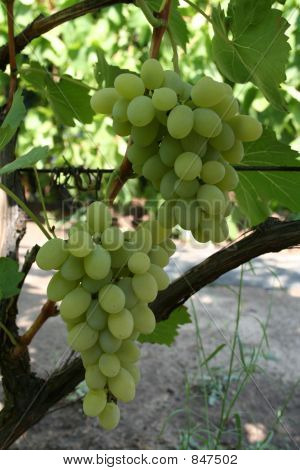two bunch of green grapes on vine vertical
