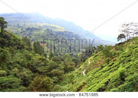 Tea plantations on the slopes of the mountains, Ceylon